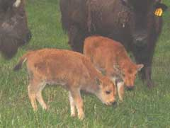New calves born in 2004